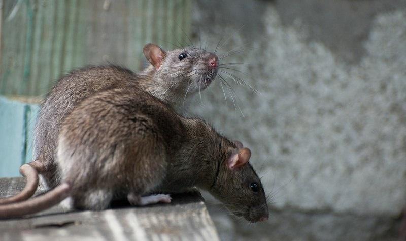 krysy-v-gorode